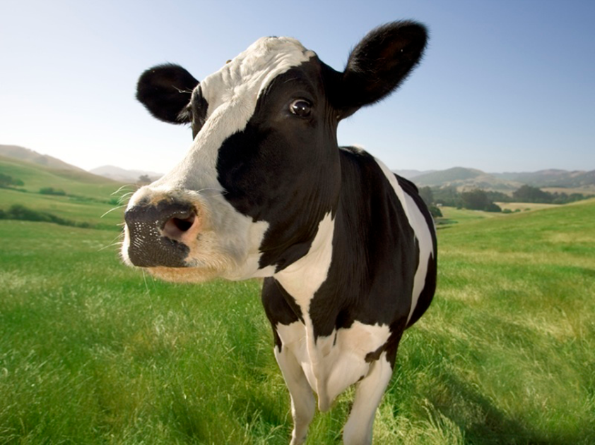cow1.png